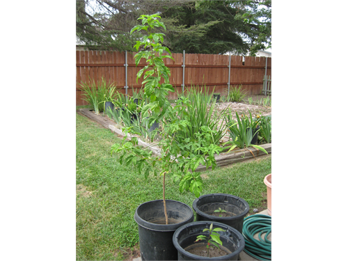 Fruitless mullberry tree for sale yucaipa ca for Mullberry home