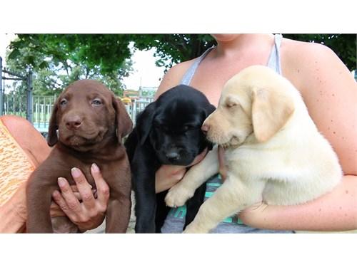 Labrador Cutie Puppies