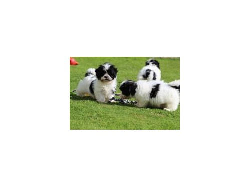 Shih Tzu Puppies for Re-h
