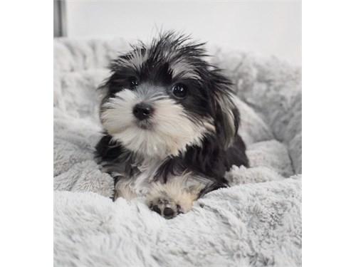 Cute Morkie Pup