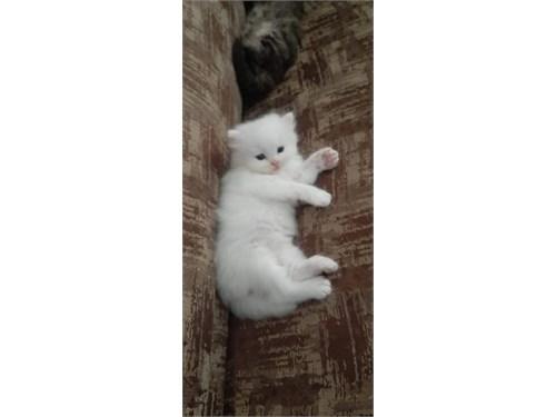 Affordable Persian kitten