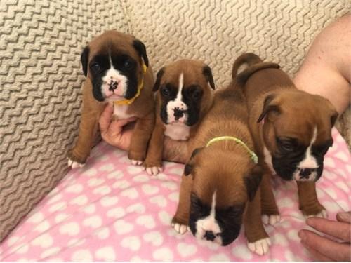 Sweet AKC Boxer Pups