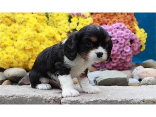 Cavalier King Charles pup