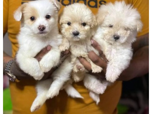 Maltipoo fur babies pups