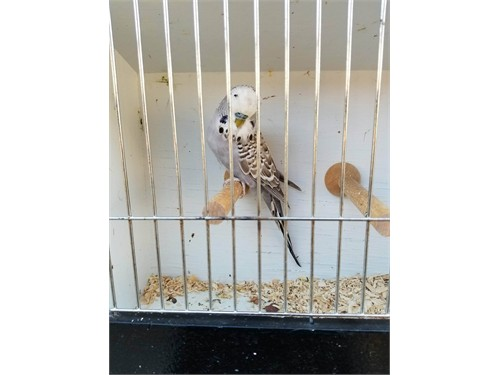 Male English Budgies