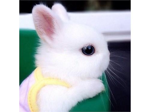 Blue Eye Bunny White Dwaf
