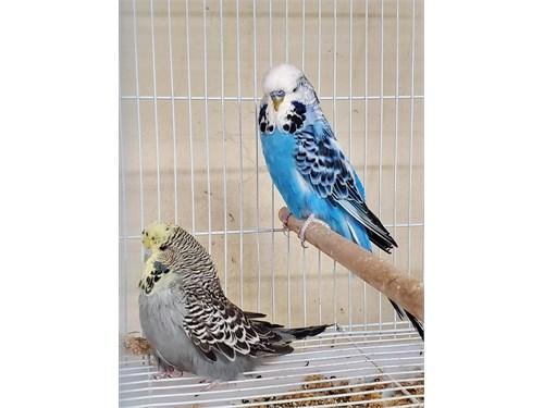 2020 Breeding pair