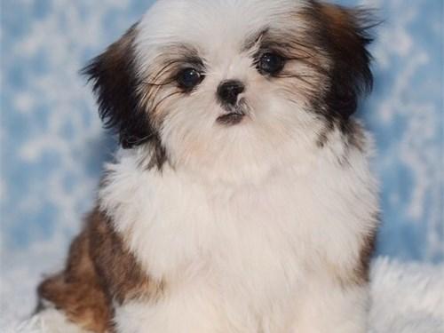 19 weeks shih tzu pups