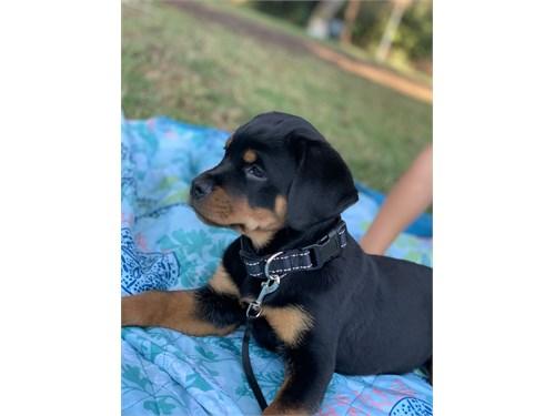 Rottweiler girl 11 weeks