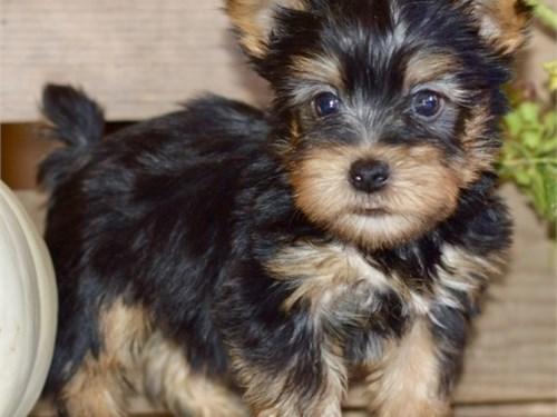 Silky Terrier Puppies