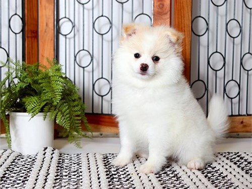 POMERANIAN PUPPY FOR SAL
