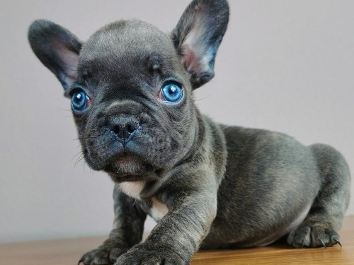 Blue French Bulldog Pups