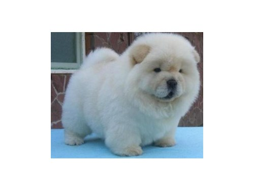 Chow Chow Pupies For sale