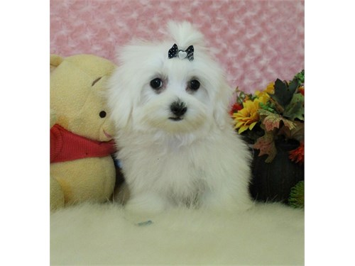 CKC Toy size male Coco