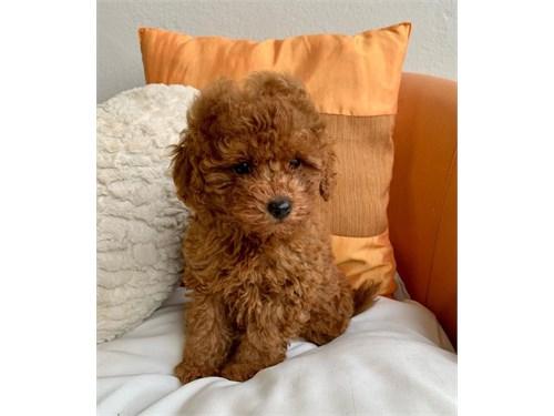Adorable Malti'Poo pups