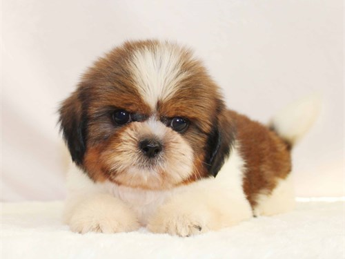 Beautiful shih tzu puppy