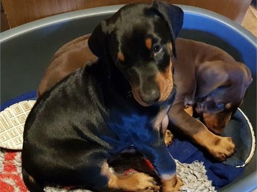 Stunning Dobermann Pups