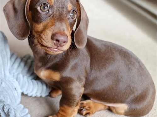 Amazing Dachshund Puppies
