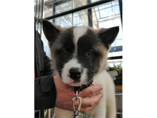 Akita Puppys For Sale .