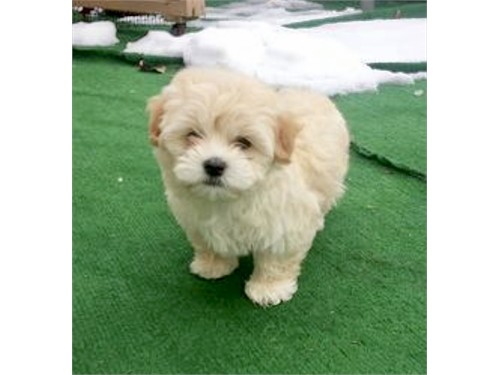 HAVANESE PUPPIES GORGEOUS