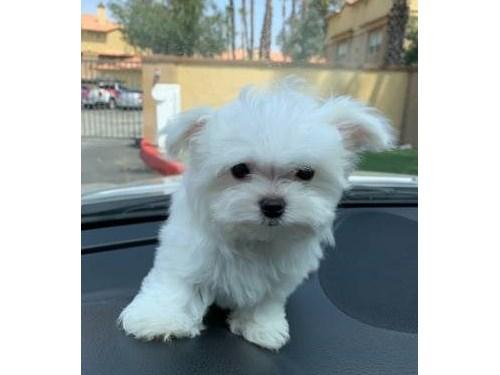 AKC Tcup Maltese puppy