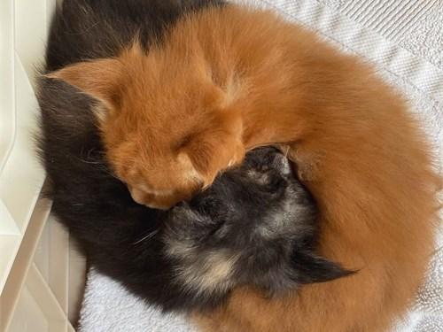 Lovely Maine coon kittens
