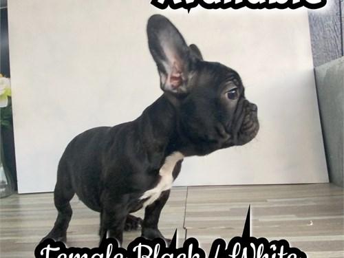 French Bulldog(Frenchies)