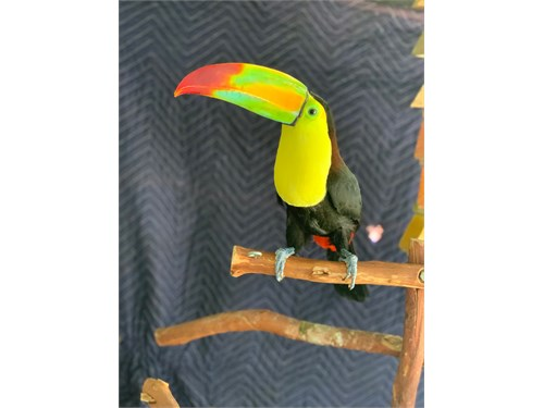 male keel billed toucan