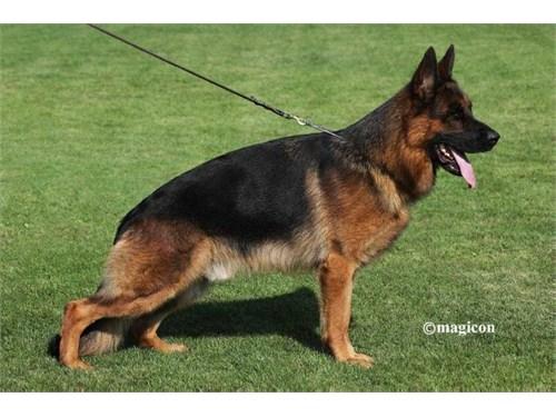 AKC German Shepherds