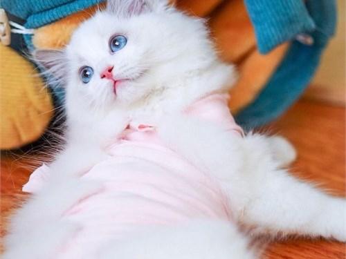 4 or more Ragdoll kittens