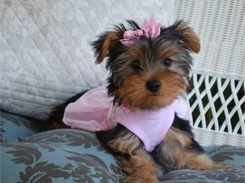 Cute Tcup Yorkie Pups