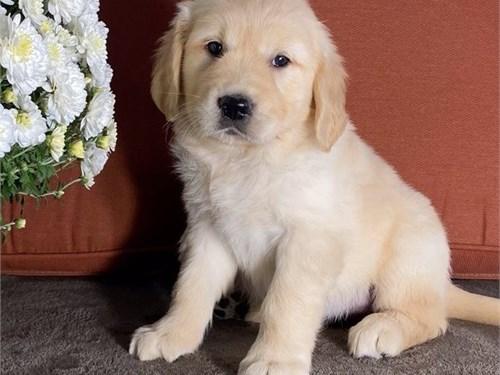 Mass Golden Retriever Pup