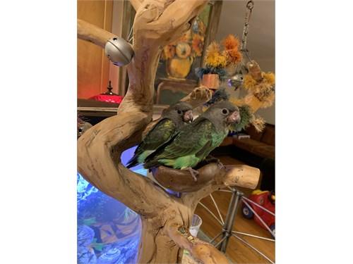 Baby Meyer parrot Bird