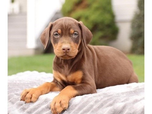 amazing Doberman puppies