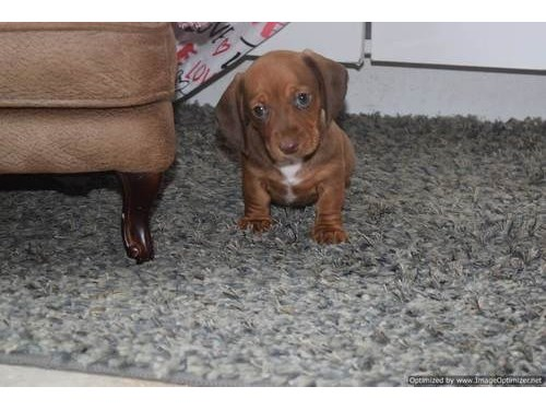 Dode Dachshound pups