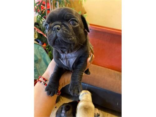 Pug pug puppy beautiful