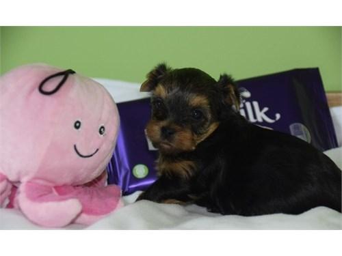 Adorable Yorkshire Puppie