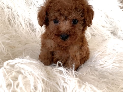 T CUP RED COLOR MALTIPOO