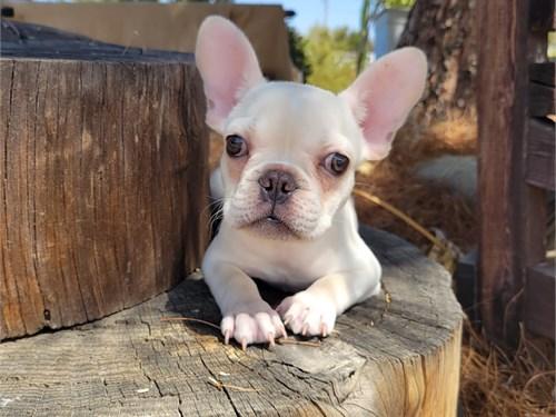 AKC French Bulldog Girl