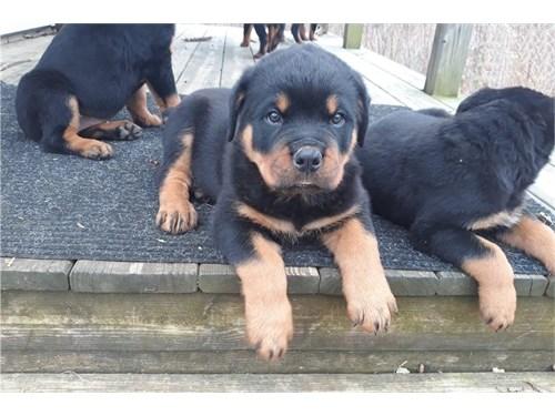 puppies Ready