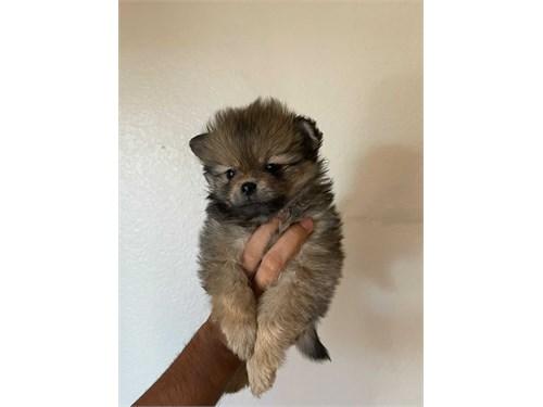 Pomeranian available