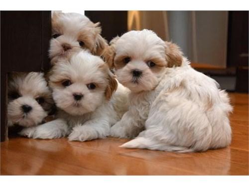 Friendly Shih Tzu Puppies