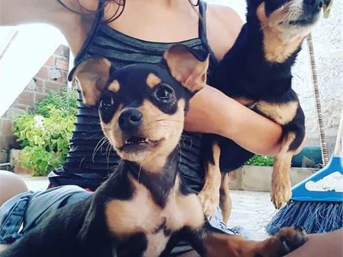 Lovely Dwarf Pinscher pup