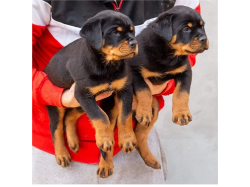 Adorable Rottwielers