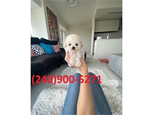 TOY SIZE POODLE