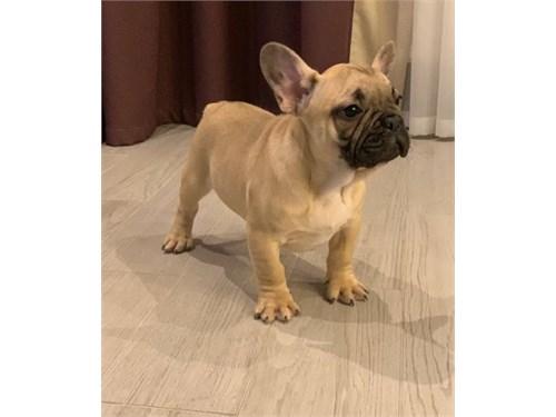 meek French bulldog pups