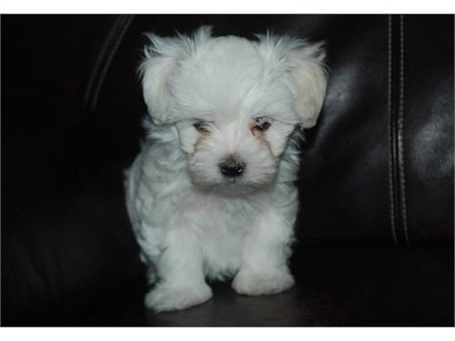 Purebred Maltese puppy