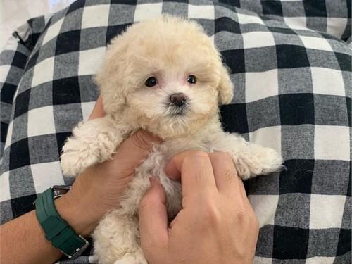 Best Toy Poodle Pups