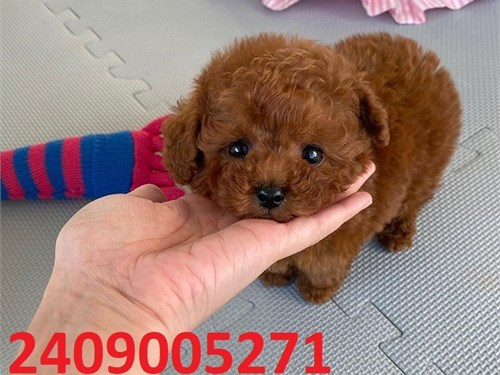 Pure toy poodle available
