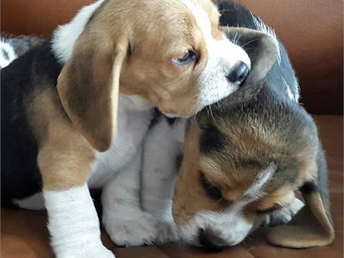 Adorable beagl'e puppies
